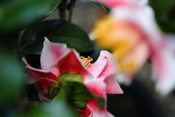 Volunteer Camellia
