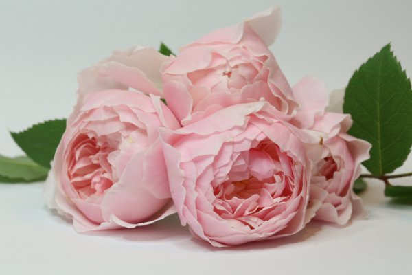 David Austin Wisely Rose by The Vintage Couturiere